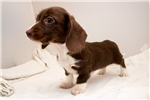 Picture of Pebbles - Solid chocolate piebald female WIREHAIR