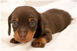 Picture of Jackson - Chocolate/tan male WIREHAIR