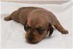 Picture of Prissy - Red female WIREHAIR