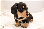 Picture of Blackbeard - Black/CREAM male WIREHAIR