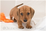 Picture of Hugo - Red male WIREHAIR