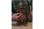 English Toy Spaniels for sale