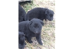 Picture of Pups available - ready in January!