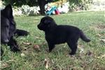 Belgian Sheepdog for sale