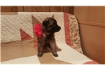 Little Girl  | Puppy at 9 weeks of age for sale