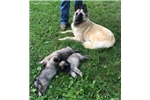 Picture of a Belgian Shepherd Tervuren  Puppy