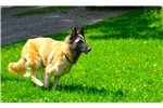 Belgian Shepherd Tervuren  for sale