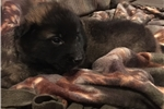 Gorgeous puppy with an A+ disposition.  | Puppy at 6 weeks of age for sale