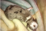 Picture of Toy sized Red Merle - dbl blue eyes expected