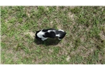 Picture of B/W Field Bred Springer - Winchester