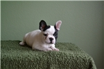 Picture of Beautiful white and black female puppy