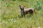 Picture of an American Staffordshire Terrier Puppy
