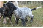 Norwich Terrier for sale