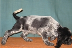 Picture of AKC ESS MALEs & FEMALES