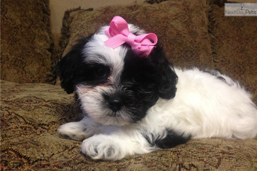 black and white fluffy puppy wwwpixsharkcom images