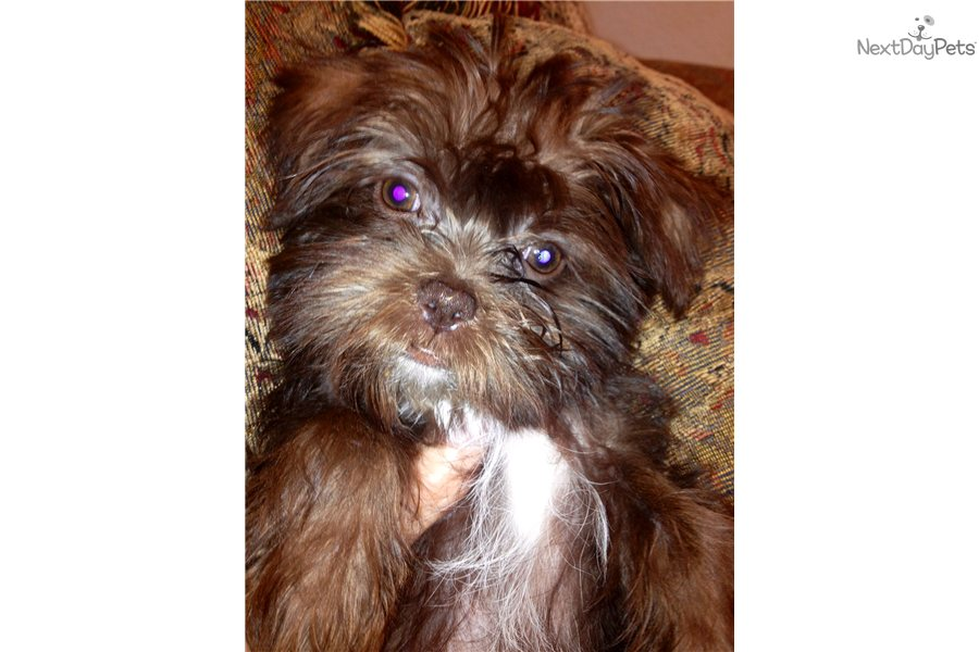 ... cute Shorkie puppy for sale for $895. EXOTIC BROWN SHORKIE, TOOTSIE