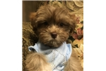 Picture of Sweet Little boy Malti-Poo!! - Mocha Latte