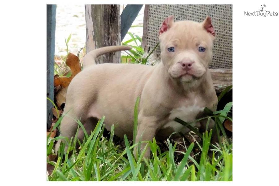 American Pit Bull Terrier puppy for sale near San Antonio ...