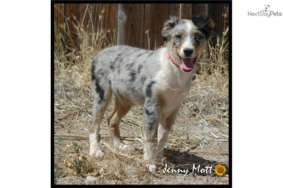 Australian shepherd puppy for sale near phoenix arizona ea6cc706