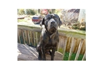 Picture of Tosa Inu/Japanese Mastiff Proven Adult Pair