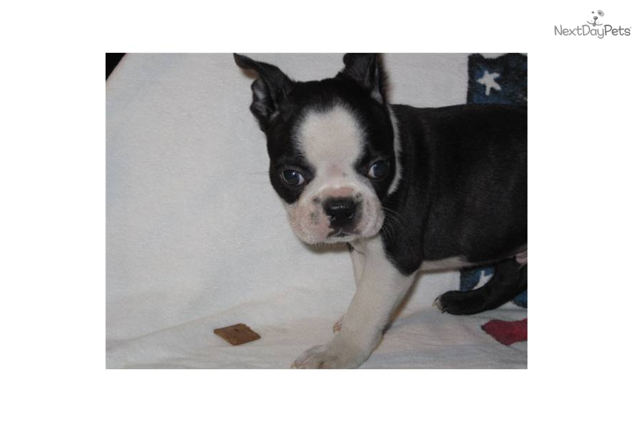 -champion-bloodline-boston-terrier-male-puppydog-boston-terrier-puppy ...