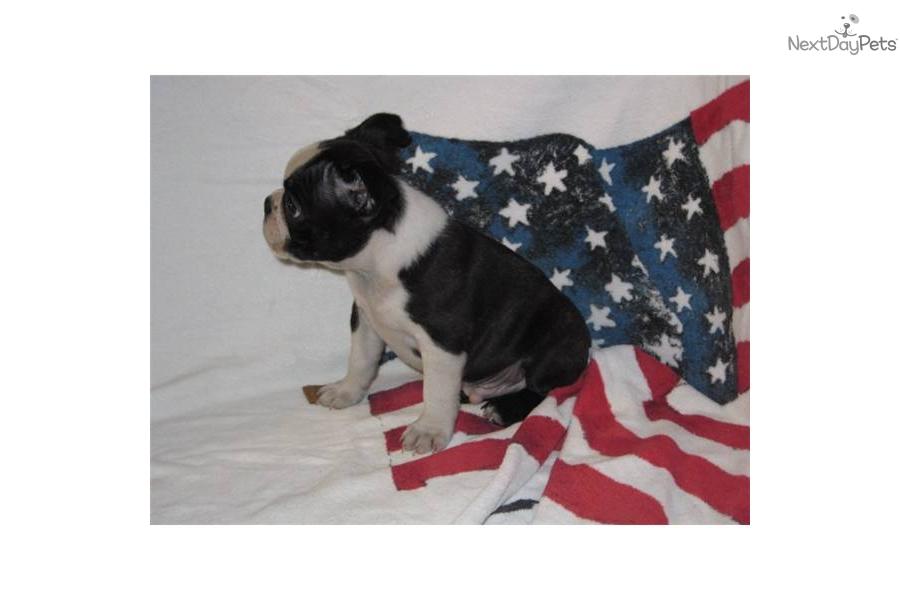 akc-champion-bloodline-boston-terrier-male-puppydog-boston-terrier ...