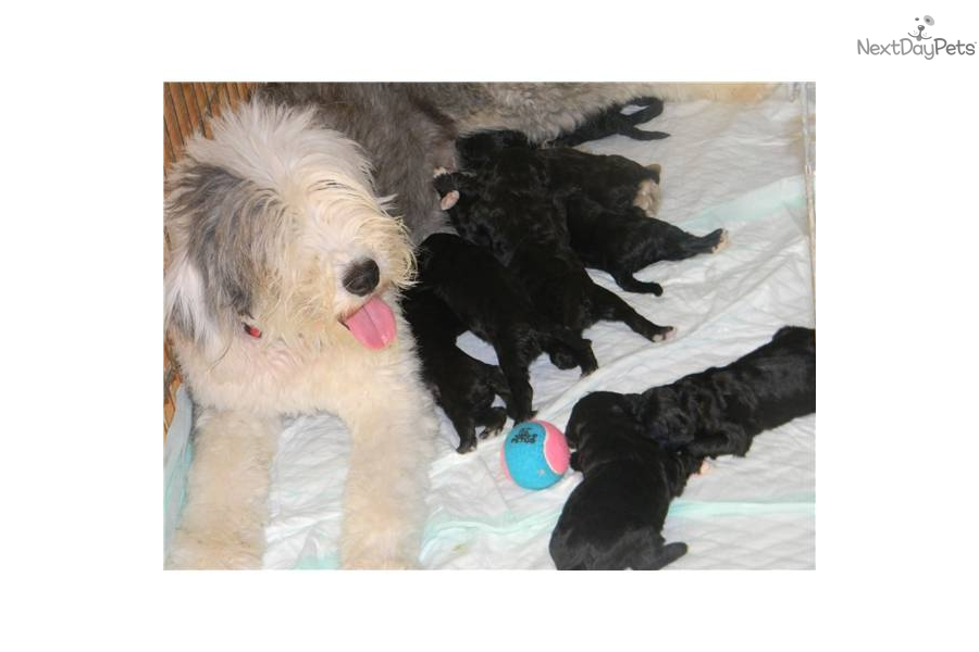 100 Medium Sized Non Shedding Hypoallergenic Dogs