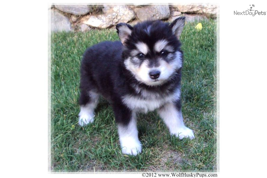 Wolf Hybrid Puppies for Sale