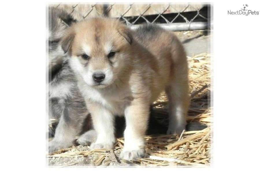 Fox dog hybrid puppies