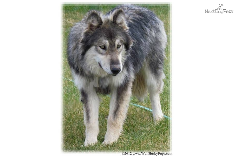 meet avalanche a cute wolf hybrid puppy for sale for 1 200 gorgeous rare colored avalanche. Black Bedroom Furniture Sets. Home Design Ideas