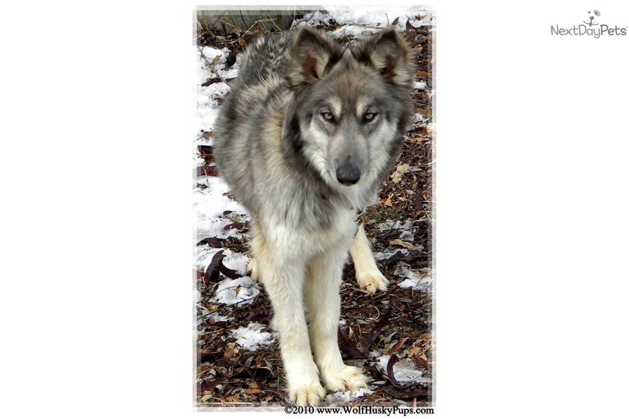 Meet AVALANCHE a cute Wolf Hybrid puppy for sale for ...