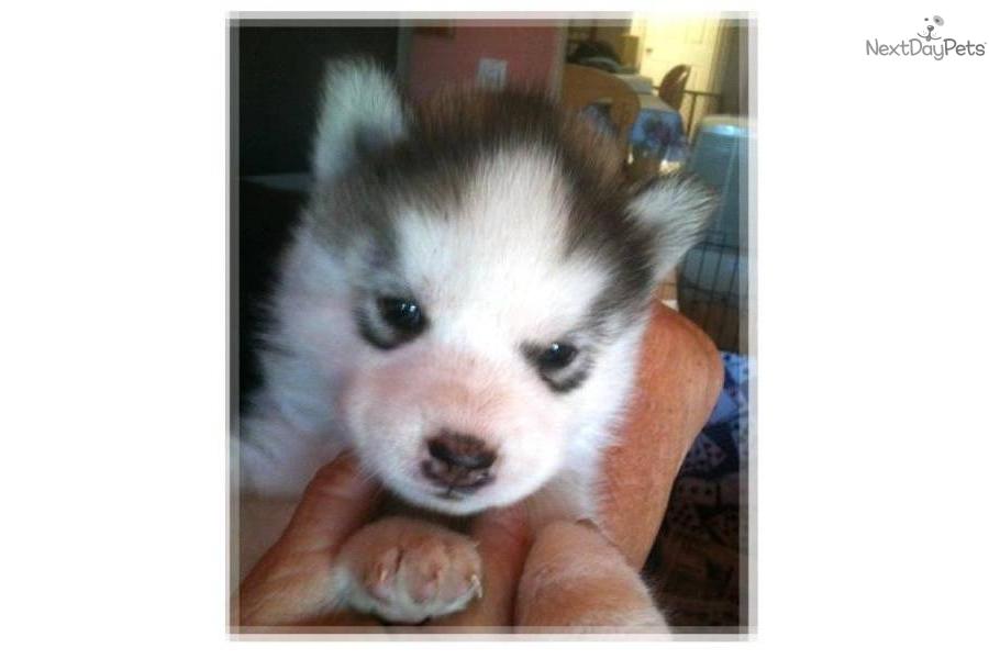 Wolf husky mix puppies - photo#26