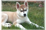 Picture of GORGEOUSI BLUE EYED HYBRID FEMALE PUPPY
