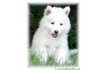 WHITE HYBRID PUPPY - WILL BE LARGE & BEAUTIFUL | Puppy at 9 weeks of age for sale