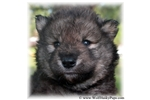 Picture of VERY RARE WOLF DOG PUPPY