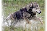Wolf Hybrid for sale