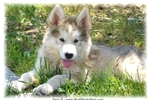 Picture of WOLF PUP - ENVY II - WILL BE LARGE AND STUNNING