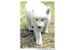 Picture of $100 OFF TODAY ONLY! GORGEOUS WOLF PUPPY
