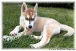 GORGEOUSI BLUE EYED HYBRID FEMALE PUPPY | Puppy at 10 weeks of age for sale