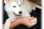 Picture of DIVA III - MOST BEAUTIFUL WOLAMUTE PUP