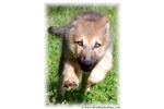 THUNDER WOLF DOG PUP - LIGHT EYES, RARE LINES  | Puppy at 12 weeks of age for sale