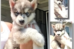 BLUE EYED YUKON - PERFECT HYBRID PUP IN CA | Puppy at 16 weeks of age for sale