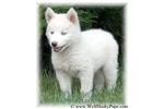 Picture of WHITE HYBRID PUPPY - WILL BE LARGE & BEAUTIFUL