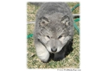 Picture of BLUE COAT GIANT WOLAMUTES - VERY RARE- PERFECTION