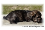Picture of VERY SPECIAL RARE WOLF CUBS - ONLY 3 LEFT