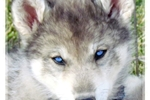 Picture of The BEST and Most beautiful WOLF DOG puppy