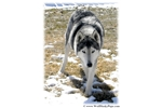 Picture of RARE BLUE EYED SIBERIAN HYBRIDS - LARGE & STUNNING