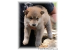 Picture of WOLF CUB