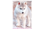 $100 OFF TODAY ONLY! GORGEOUS WOLF PUPPY | Puppy at 16 weeks of age for sale