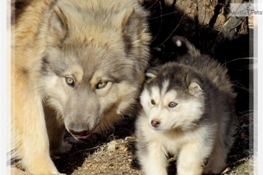 Wolf husky mix puppies - photo#24